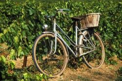 Fietsinwijngaard