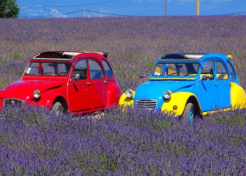 Eenden in het lavendelveld